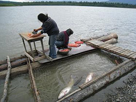Fish Processing and harvesting on the Kuskokwim River.