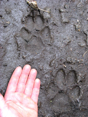 Image of Wolf Tracks