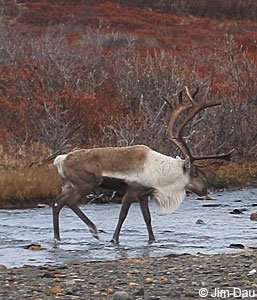 photo of a caribou