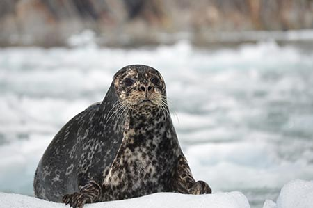 Harbor seal resting on ice