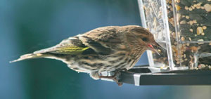 Pine siskin at feeder