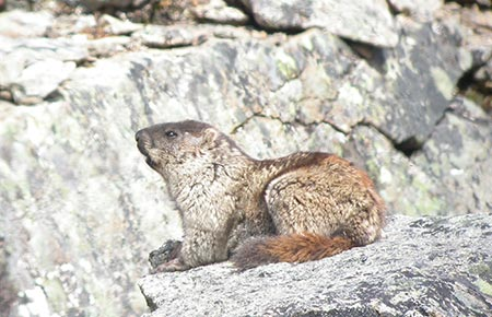 Photo of an Alaska Marmot