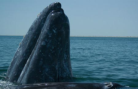 Picture of a Gray Whale