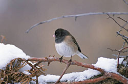 Photo of a dark-eyed junco