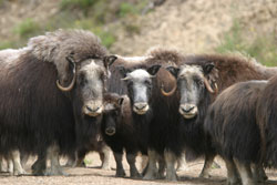 Group of muskox